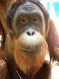 Jam The Orangutan at Center For Great Apes - Deforestation Education