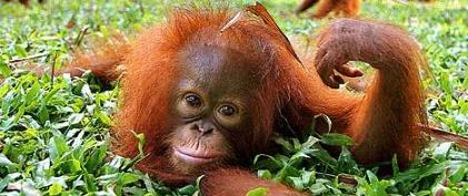 Sweet Orangutan Baby- Deforestation Education